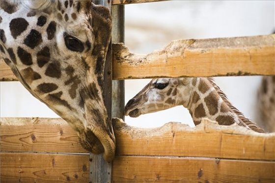 Rare Giraffe Calf Born At Nyíregyháza Zoo post's picture