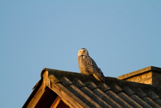 Snowy Owl Spotted In Hungary For First Time Since 1891 post's picture
