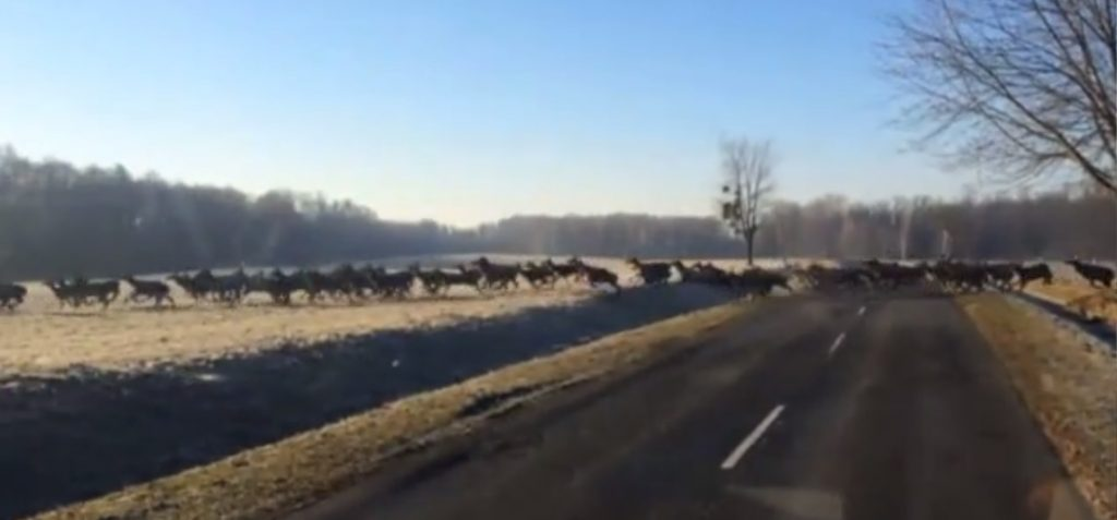 Motorist's Video Captures Hundreds Of Deer Thundering Across Rural Road post's picture