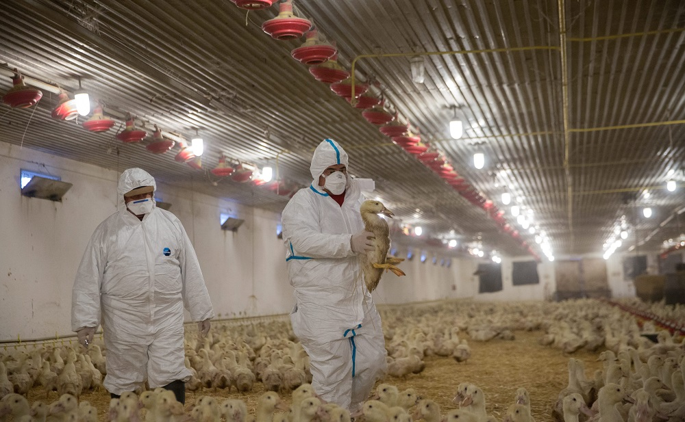 Russia Bans Poultry Import As Bird Flu Pops Up In East Hungary post's picture