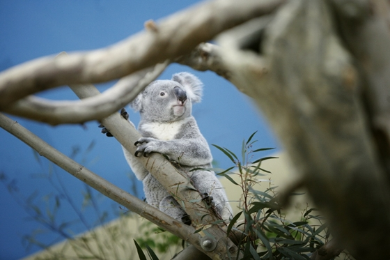 Budapest Zoo Welcomes First-Ever Koalas post's picture