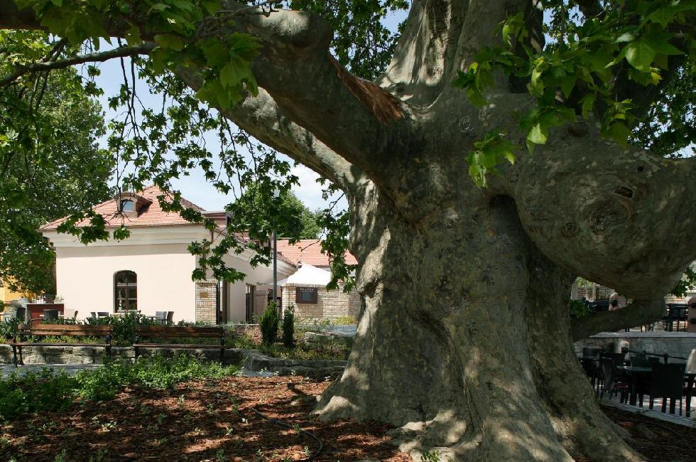 European Tree Of The Year: Hungarian Giant Sycamore Comes Close Second post's picture