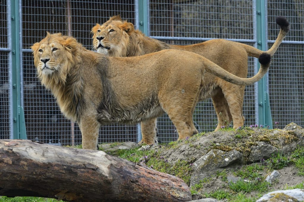 Young Asian Lions Visible At Debrecen Zoo For First Time post's picture