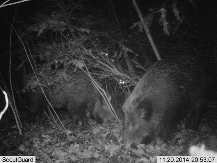 Action Plan Prepared As Growing Numbers Of Wild Boar Adapt To Urban Living post's picture