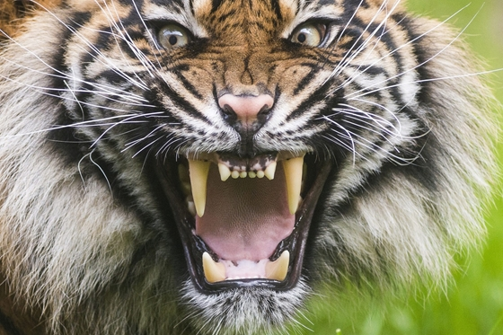 World's Rarest Type Of Tiger Arrives To Hungarian Zoo post's picture