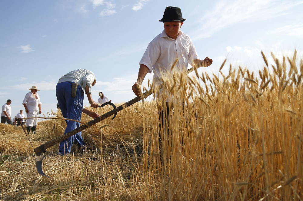 Hungary's Wheat Harvest Exceeds 5 Million Tonnes In 2015 post's picture