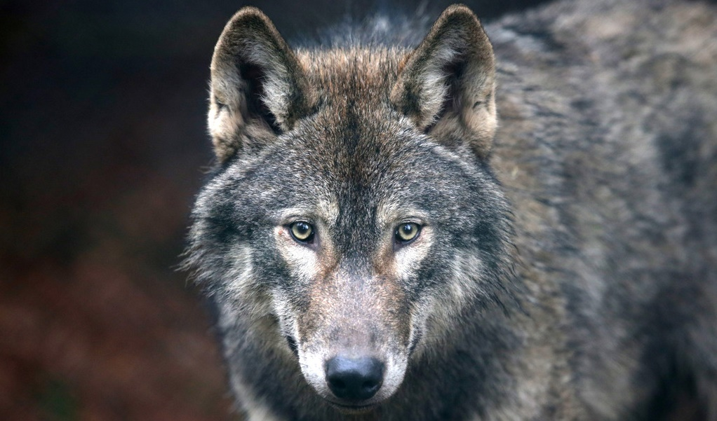 Wolf Shot Dead In Hungary After Escape From Pécs Zoo post's picture