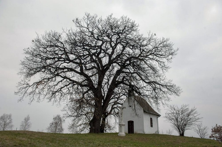 Bátaszék, 2015. november 27. Az év fájának megválasztott, 3-400 évesre becsült molyhos tölgy Bátaszék közelében 2015. november 27-én. MTI Fotó: Sóki Tamás