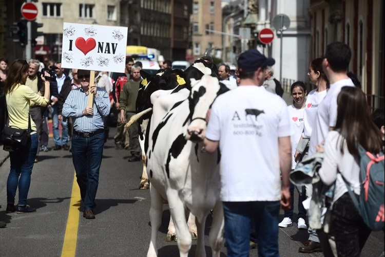 Cattle's March And The Sound Of The Cow's Hoof In Budapest post's picture
