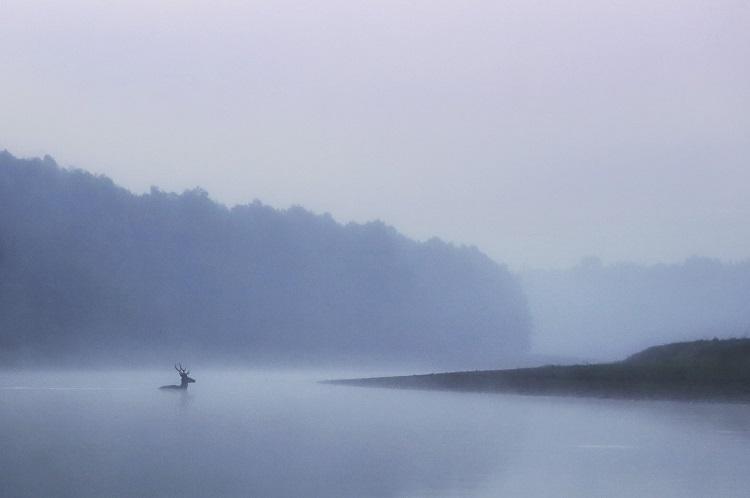 A stag swimming in the Danube. Photo- Illona Szabó