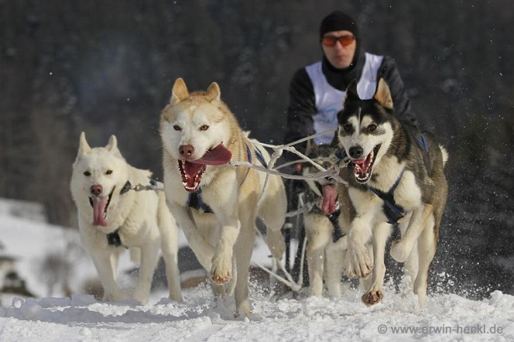 Hungarian Champion Mushed to Victory On His Dogsled post's picture