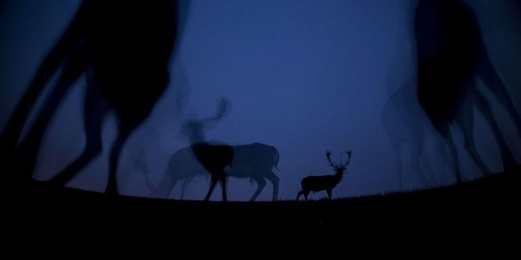 Fallow deer walk in the silence of the night (Photo: Máté Bence).