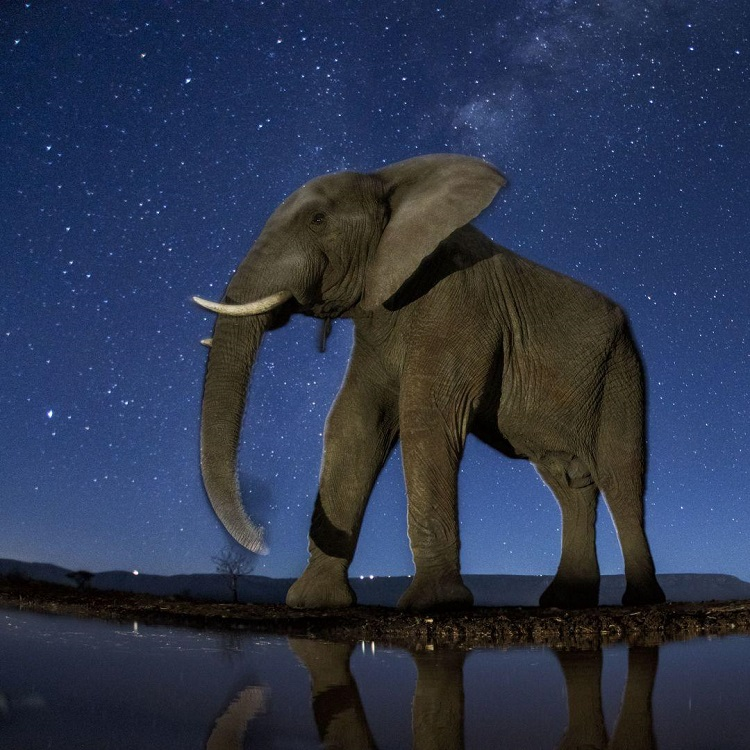 African Elephant under the starry sky (Photo: Máté Bence).