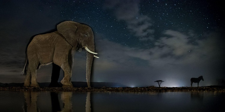 An African elephant arrives at the drinking station, with a zebra in the background (Photo: Máté Bence).
