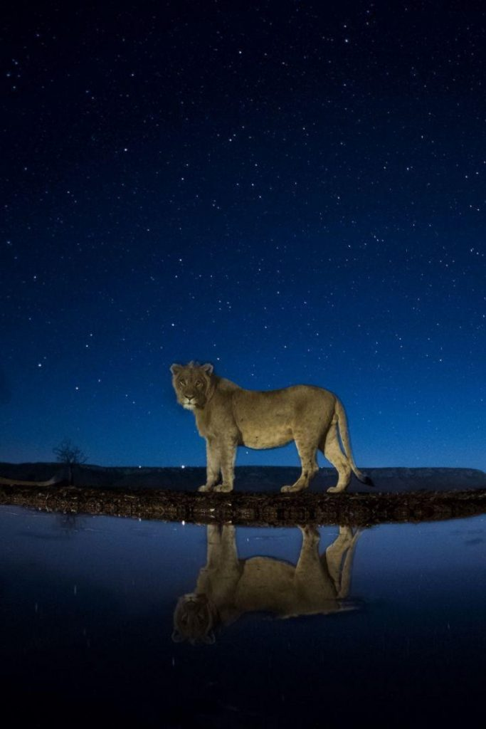 A lion listens in the starlit night (Photo: Máté Bence).