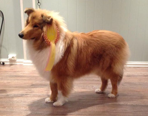 """Hungarian Lassie"" Won The World's Greatest Dog Exhibition post's picture"
