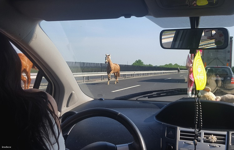 Unleashed Gallop On The Highway – 13 Horses Sprinted on M6 Highway Of Hungary post's picture
