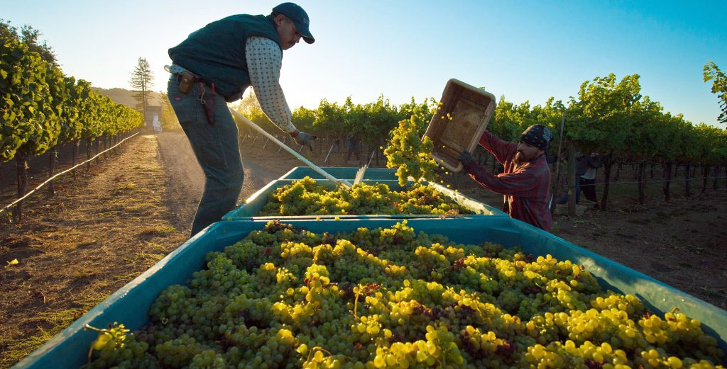 It's Harvest Time! – This Year's Vintage Expected To Be Outstanding post's picture