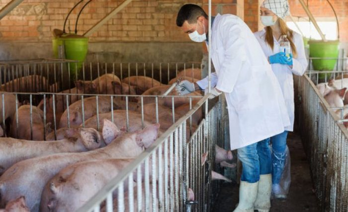 African Swine Fever Reported in Fifty Villages in NE Hungary post's picture