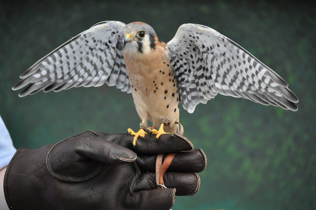 Falconry, a Hungaricum post's picture