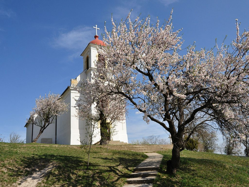 Almond Tree from Pécs Competes in the European Tree of the Year Competition post's picture