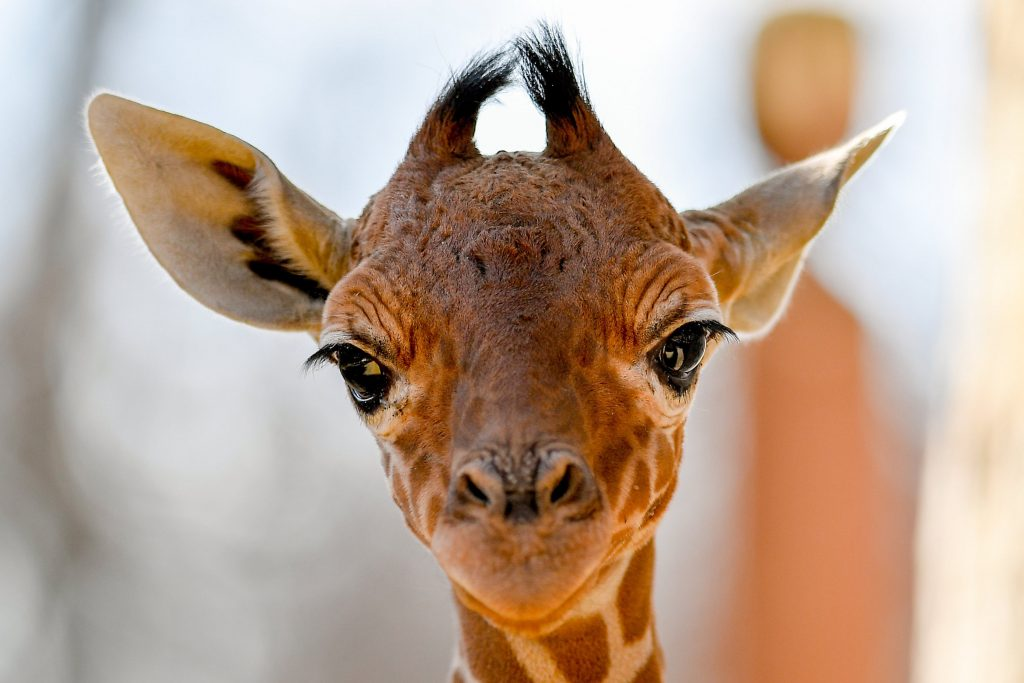 Hello World! Adorable Giraffe Calf Born in the Debrecen Zoo post's picture
