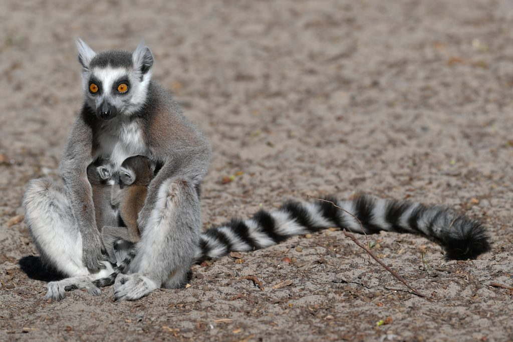 Ring-Tailed Lemur Babies Born in Debrecen Zoo post's picture