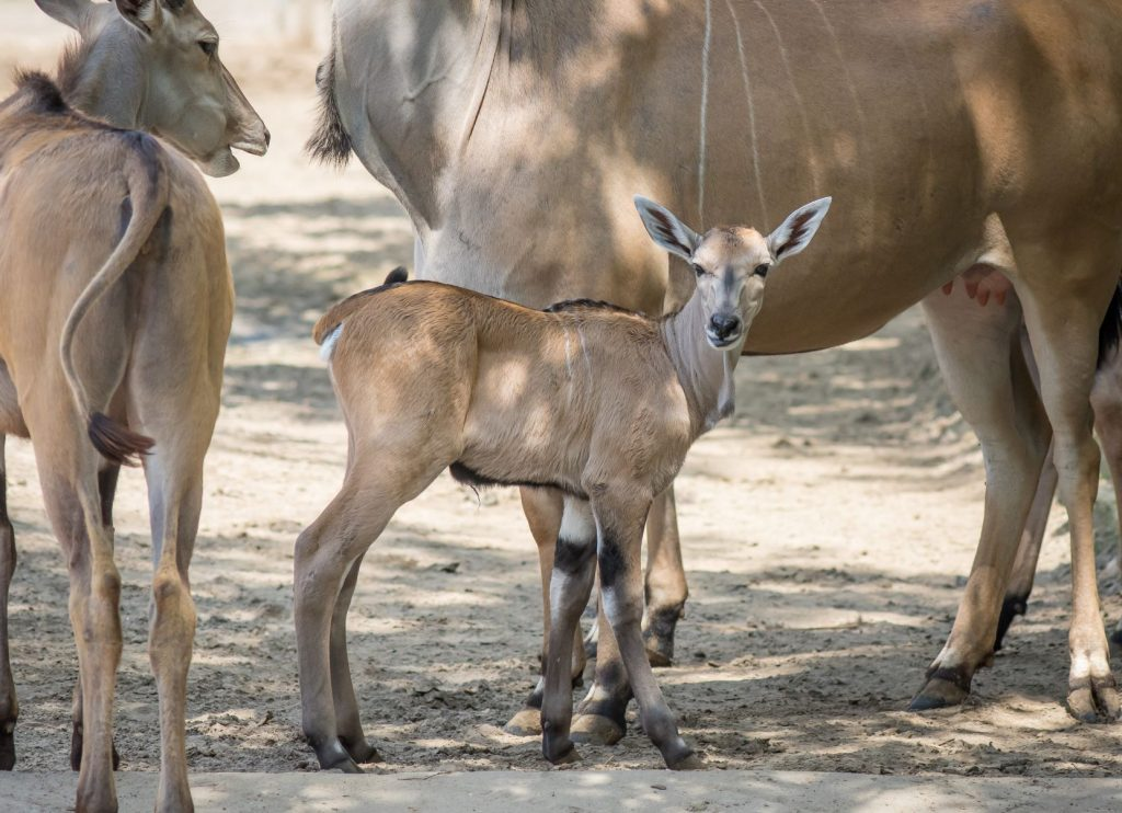 Newborn Eland Antelope at Debrecen Zoo post's picture