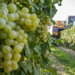 Hungary to Produce 3m Hectolitres of Wine in 2019