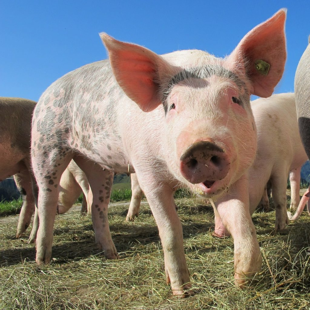 Hungary Swine Stock Unaffected by African Flu, Says Chief Vet post's picture