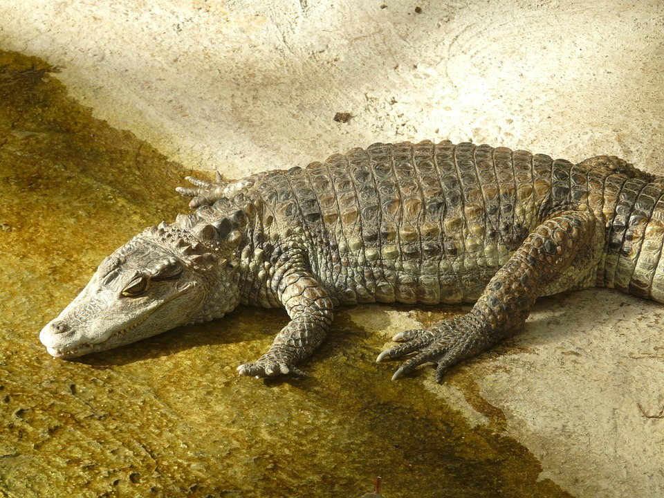 4 ft Long Caiman Left in Box with Short Warning Message post's picture