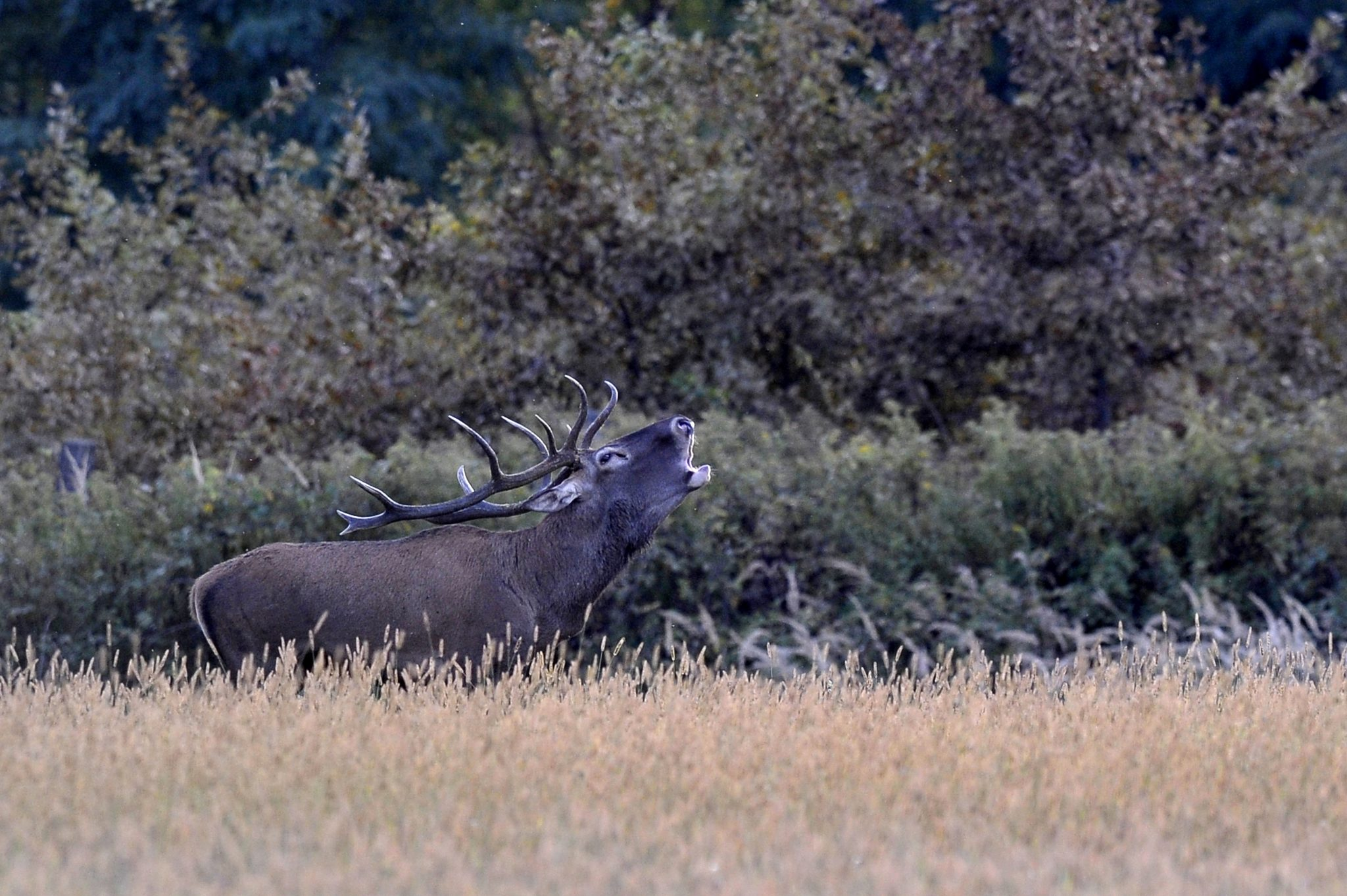 Deer Rut Season Starts in Beautiful Hungarian Forests – Gallery! post's picture
