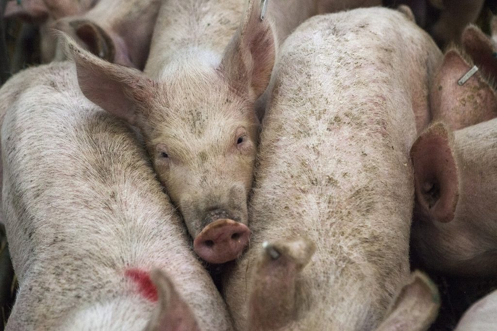 Thousands of Domestic Pigs Killed Due to African Swine Fever post's picture