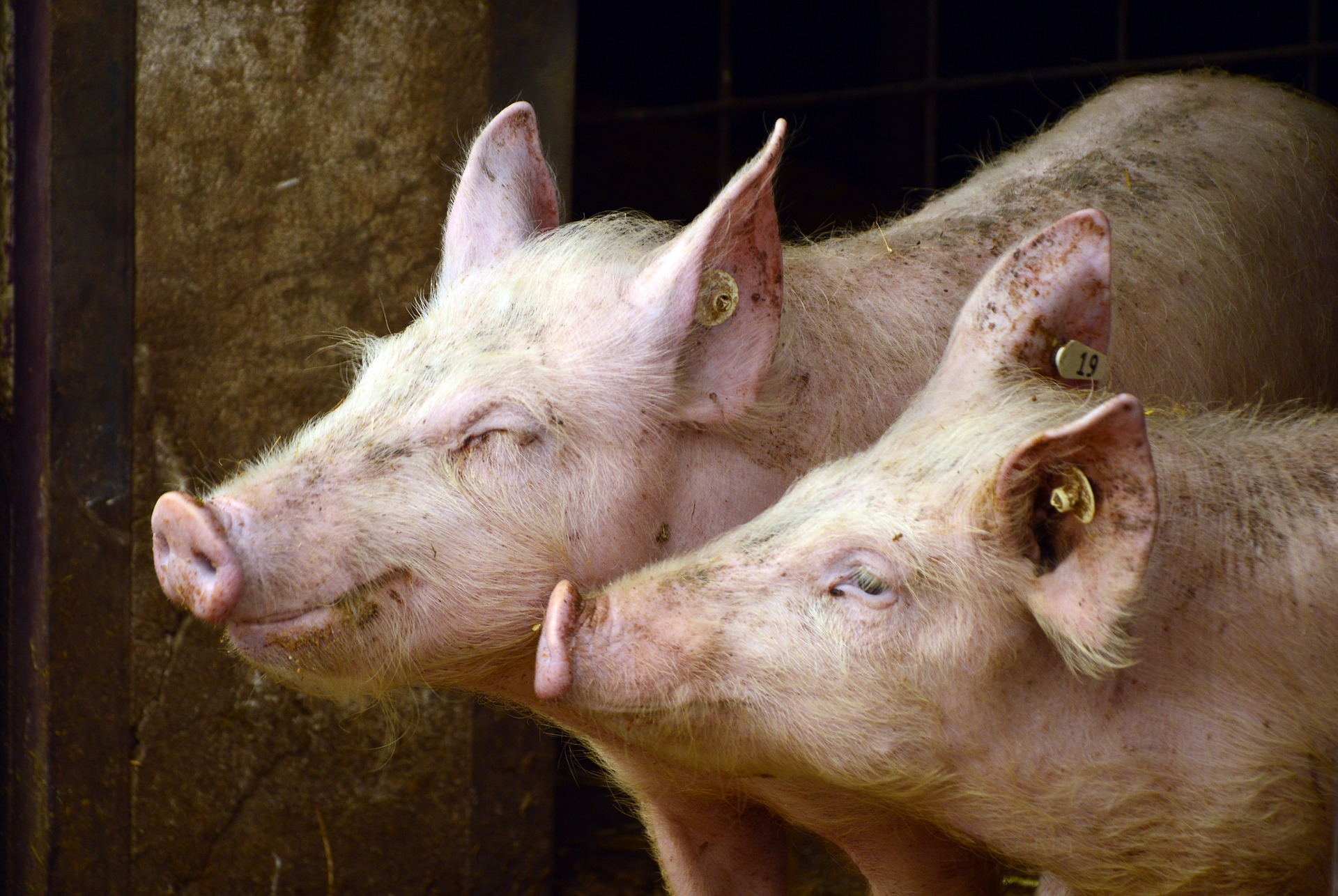 Farm Ministry: Serbia Lifts Hungarian Pork Ban post's picture