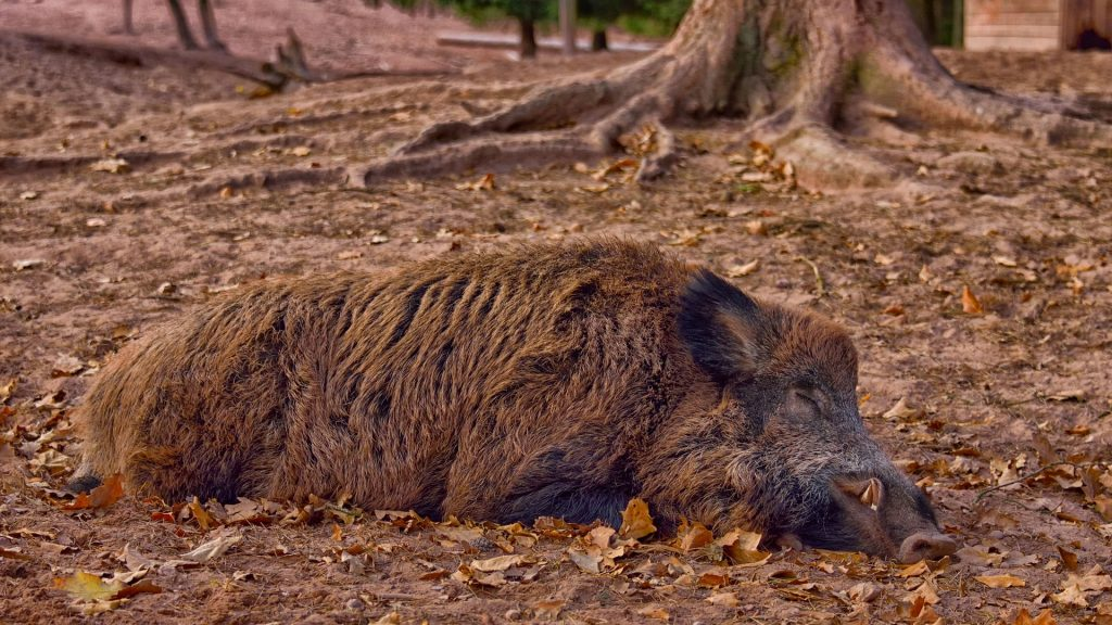 Chief Vet: Thousands of Wild Boars Have Contracted Swine Flu since April 2018 post's picture