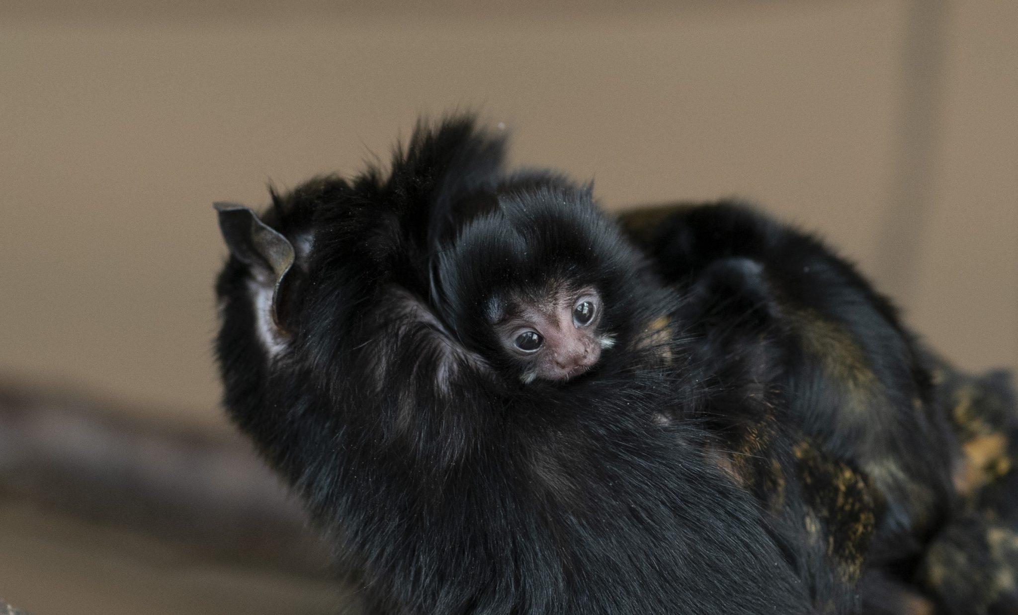 Debrecen Zoo Welcomes Newborn Red-Handed Tamarins