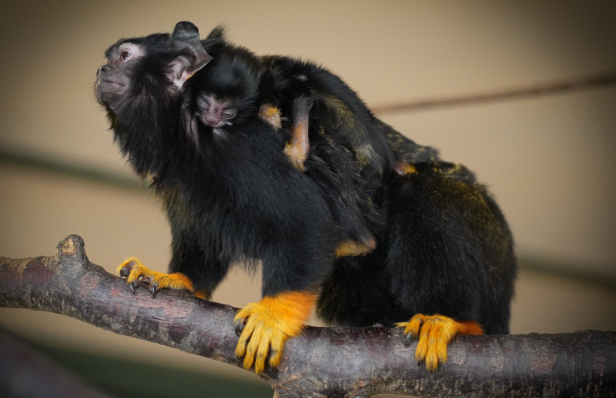 Debrecen Zoo Welcomes Newborn Red-Handed Tamarins post's picture