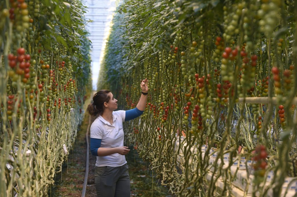 Tomato Seeds from Space Sown in Hungarian Greenhouse post's picture