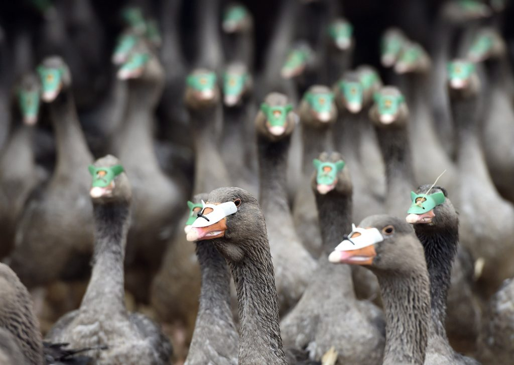 Bird Flu Hits 226 Farms in Southern Hungary post's picture