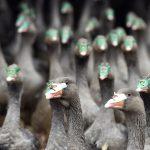 Bird Flu Hits 226 Farms in Southern Hungary