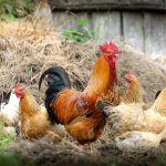 Canada, Thailand Lift Restrictions on Hungarian Poultry Imports