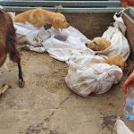 Animal Protection Groups Rescue Live Dogs and a Goat Packed in Corn Sacks in a Car at Asia Center