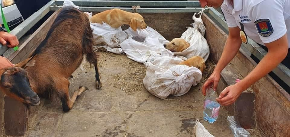 Animal Protection Groups Rescue Live Dogs and a Goat Packed in Corn Sacks in a Car at Asia Center post's picture