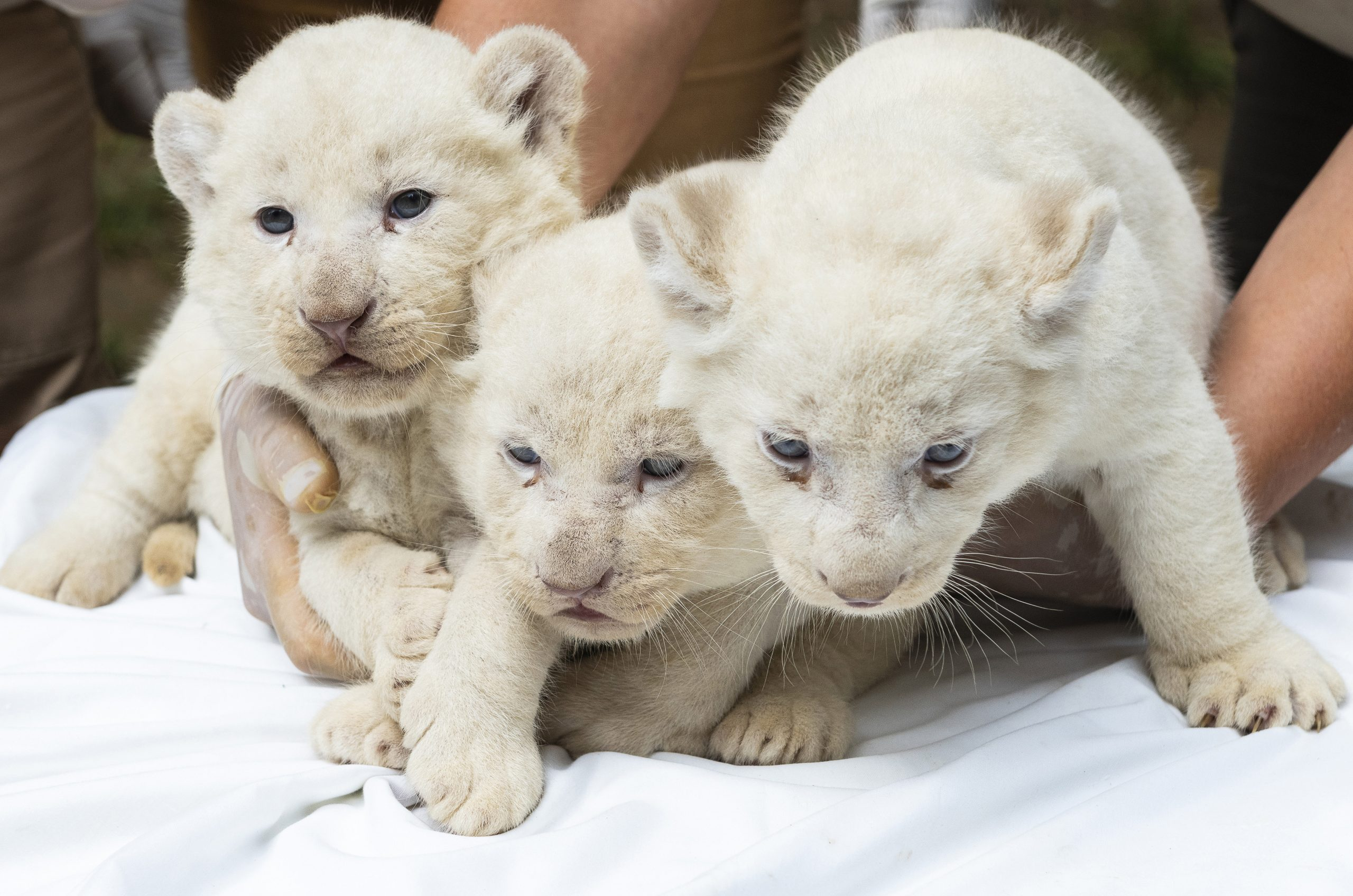 Three White Lion Cubs Born in Nyíregyháza Zoo post's picture