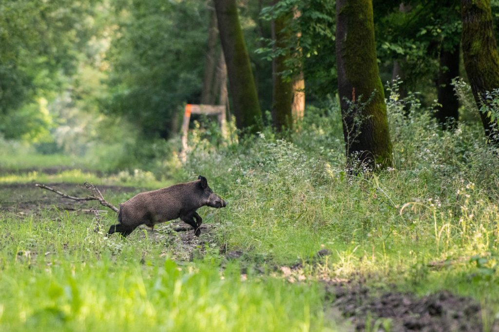 African Swine Fever Reported from Central Hungary post's picture