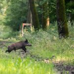 African Swine Fever Reported from Central Hungary