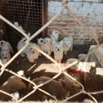 Total of 148 Dogs Rescued in Terrible Conditions from Illegal Breeding Farm