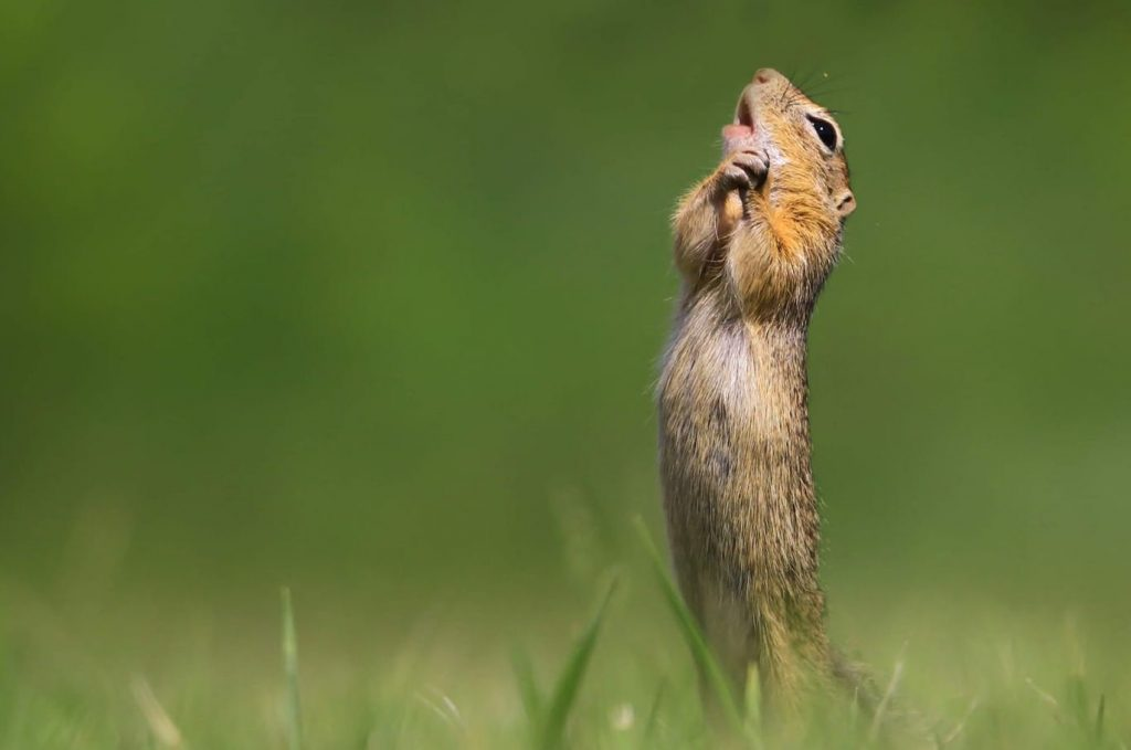 Vote For Funniest Ground Squirrel Ever to Help Hungarian Win Photography Award post's picture