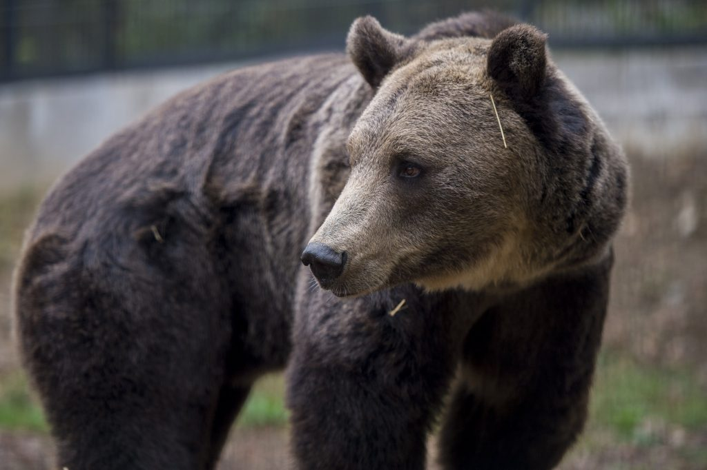 Wandering Bear Spotted in the City of Miskolc and Nearby Forests post's picture