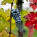 As The Globe Heats Up, Is Hungarian Wine in Danger?